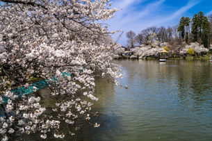 信州 長野県須坂市 臥龍公園の桜の写真素材 [FYI04172464]