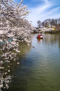 信州 長野県須坂市 臥龍公園の桜の写真素材 [FYI04172467]