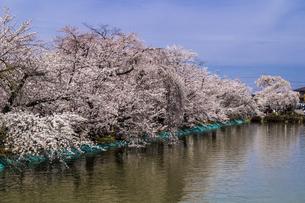 信州 長野県須坂市 臥龍公園の桜の写真素材 [FYI04172490]