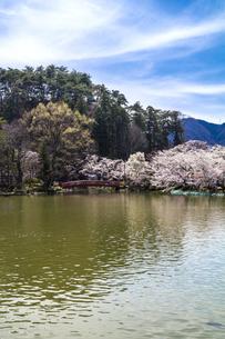 信州 長野県須坂市 臥龍公園の弁天橋と桜の写真素材 [FYI04172495]