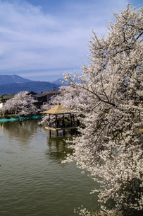 信州 長野県須坂市 臥龍公園の桜の写真素材 [FYI04172512]