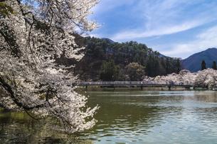 信州 長野県須坂市 臥龍公園の桜の写真素材 [FYI04172525]