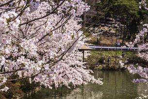信州 長野県須坂市 臥龍公園の桜の写真素材 [FYI04172538]