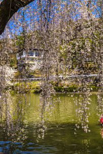 信州 長野県須坂市 臥龍公園の桜の写真素材 [FYI04172548]