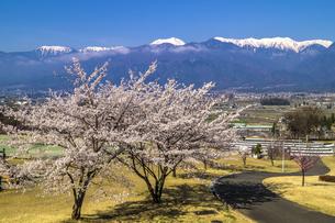信州 長野県北安曇郡池田町 あづみの池田クラフトパークの桜の写真素材 [FYI04172656]