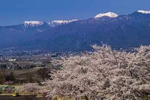 信州 長野県北安曇郡池田町 あづみの池田クラフトパークの桜の写真素材 [FYI04172687]