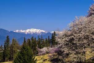 信州 長野県北安曇郡池田町 あづみの池田クラフトパークの桜の写真素材 [FYI04172691]