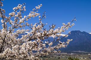 信州 長野県北安曇郡池田町 あづみの池田クラフトパークの桜の写真素材 [FYI04172750]