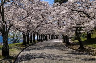 信州 長野県松本市 城山公園の桜の写真素材 [FYI04172815]