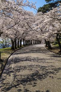 信州 長野県松本市 城山公園の桜の写真素材 [FYI04172827]
