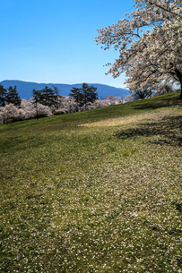 信州 長野県松本市 城山公園の桜の写真素材 [FYI04172853]