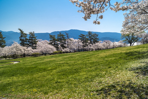 信州 長野県松本市 城山公園の桜の写真素材 [FYI04172864]