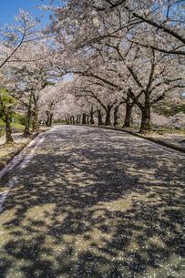 信州 長野県松本市 城山公園の桜の写真素材 [FYI04172882]