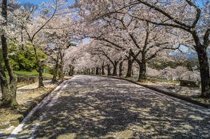 信州 長野県松本市 城山公園の桜の写真素材 [FYI04172890]