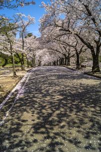 信州 長野県松本市 城山公園の桜の写真素材 [FYI04172907]