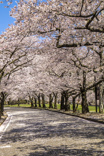信州 長野県松本市 城山公園の桜の写真素材 [FYI04172929]