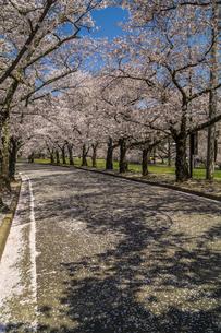 信州 長野県松本市 城山公園の桜の写真素材 [FYI04172931]