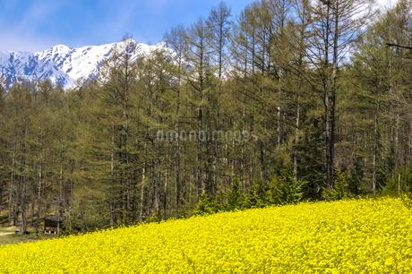 信州 長野県大町市 中山高原の菜の花の写真素材 [FYI04173200]