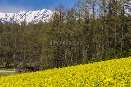 信州 長野県大町市 中山高原の菜の花の写真素材 [FYI04173201]