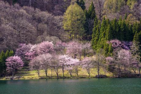信州 長野県大町市 中綱湖の桜の写真素材 [FYI04173213]
