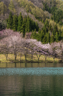 信州 長野県大町市 中綱湖の桜の写真素材 [FYI04173225]