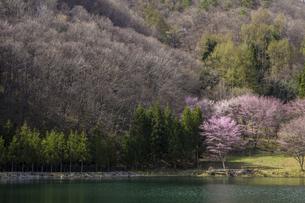 信州 長野県大町市 中綱湖の桜の写真素材 [FYI04173228]
