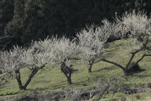 梅畑の写真素材 [FYI04173342]