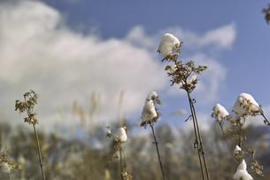 枯れ草の写真素材 [FYI04174103]