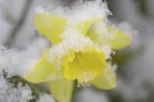 水仙に雪の写真素材 [FYI04174261]