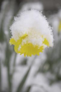 水仙に雪の写真素材 [FYI04174262]