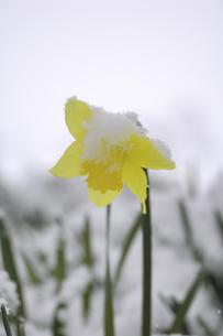 水仙に雪の写真素材 [FYI04174266]