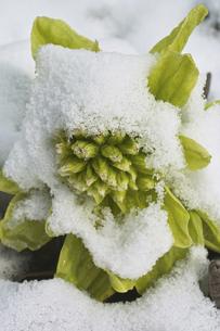 蕗の薹に雪の写真素材 [FYI04174373]