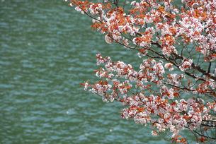 湖畔の桜の写真素材 [FYI04174868]