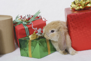 ウサギのクリスマスの写真素材 [FYI04175602]