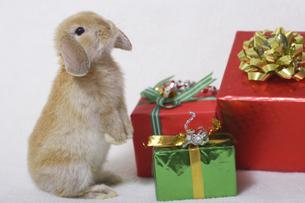 ウサギのクリスマスの写真素材 [FYI04175605]