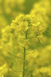 菜の花の写真素材 [FYI04175877]