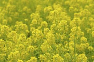 菜の花の写真素材 [FYI04175878]