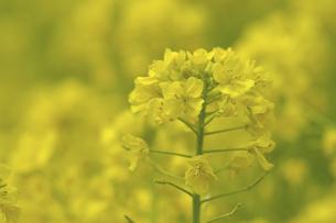 菜の花の写真素材 [FYI04175881]