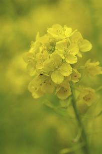 菜の花の写真素材 [FYI04175882]