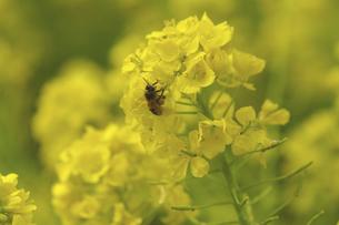 菜の花とミツバチの写真素材 [FYI04175883]