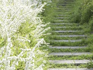 ユキヤナギの花に囲まれた小径の写真素材 [FYI04176622]