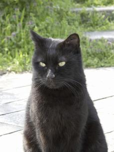 黒い野良猫の写真素材 [FYI04176624]