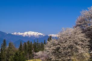 信州 長野県北安曇郡池田町 あづみの池田クラフトパークの桜の写真素材 [FYI04177337]