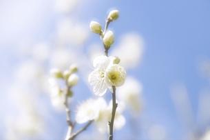 梅花の写真素材 [FYI04177786]