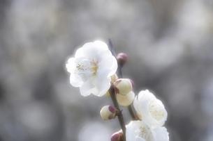 梅花の写真素材 [FYI04177791]