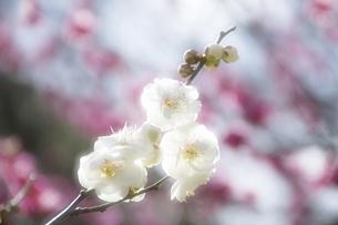 梅花の写真素材 [FYI04177792]