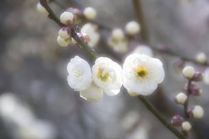 梅花の写真素材 [FYI04177793]