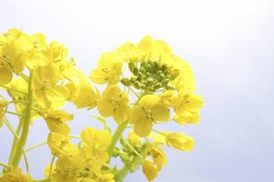 菜の花の写真素材 [FYI04178993]