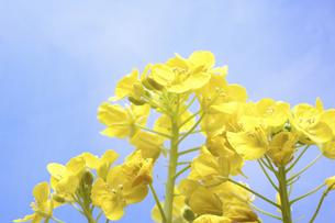 菜の花の写真素材 [FYI04178995]