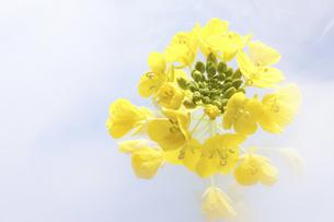 菜の花の写真素材 [FYI04178996]